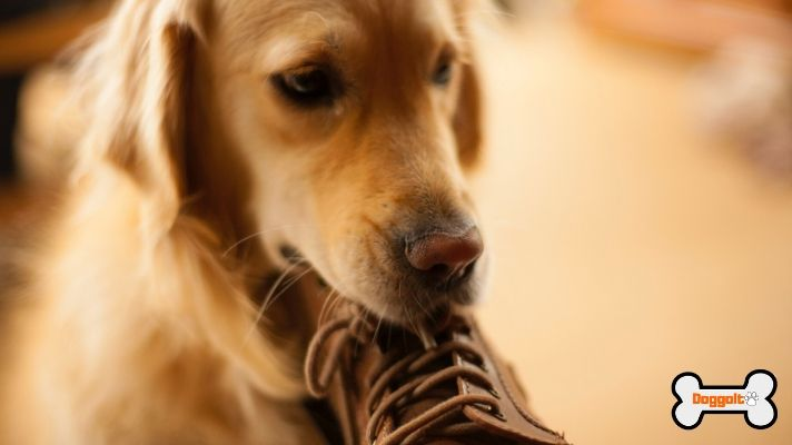 Chewing a shoe