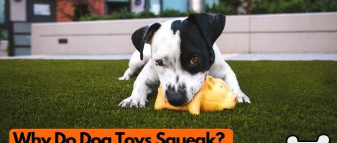 Why do dog toys squeak