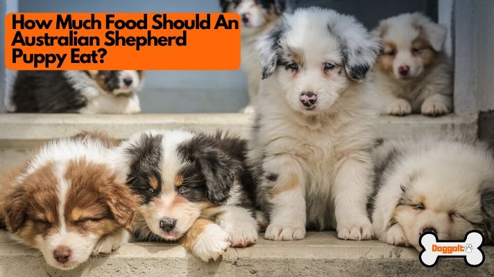 How much food should an Aussie puppy eat