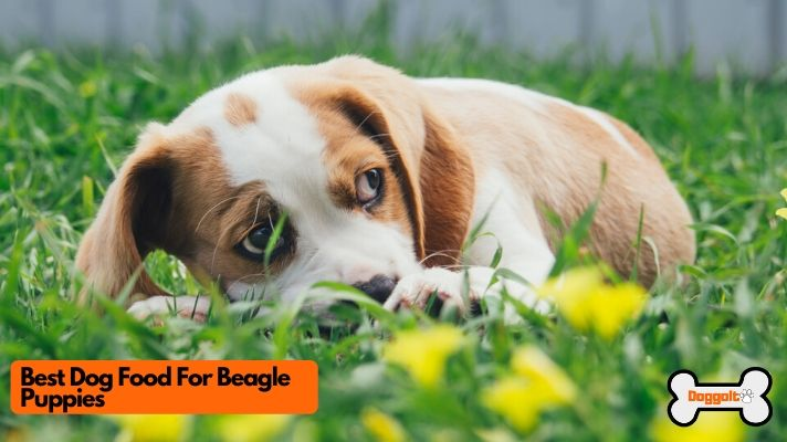 Best dog food for beagle puppies