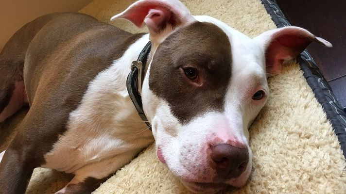Buy bed for Pit bull dog