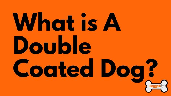 What is a double coated dog
