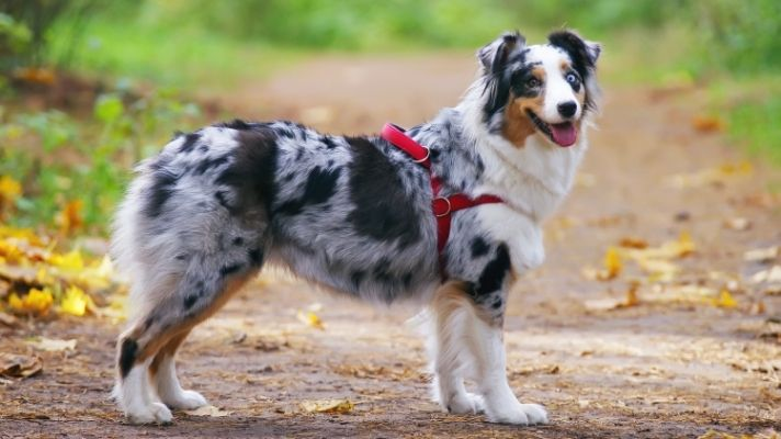 Aussie harness buying guide