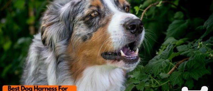 Best dog harness for Australian Shepherd