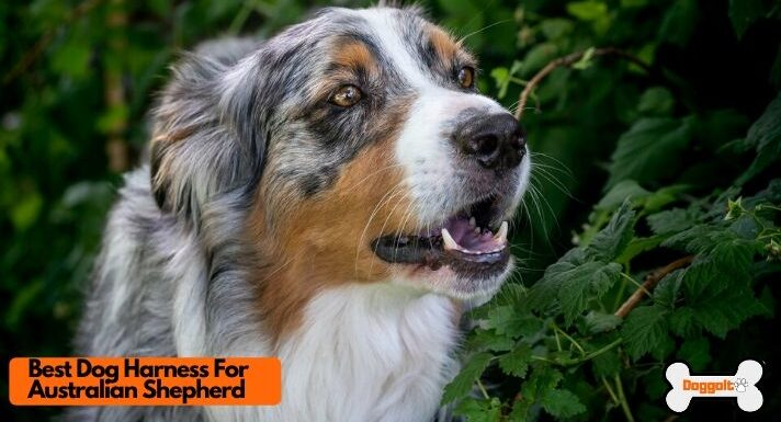 Best dog harness for Australian Shepherd