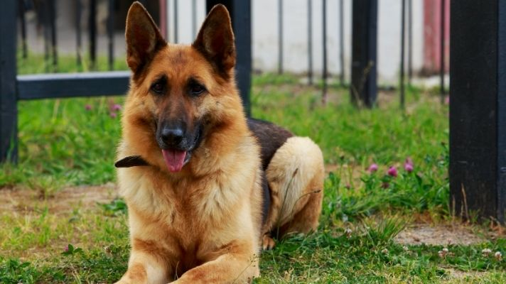 German shepherd shock collar buying guide