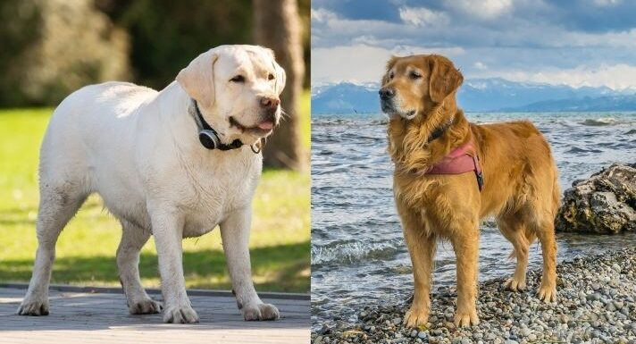 Labrador Retriever vs Golden Retriever