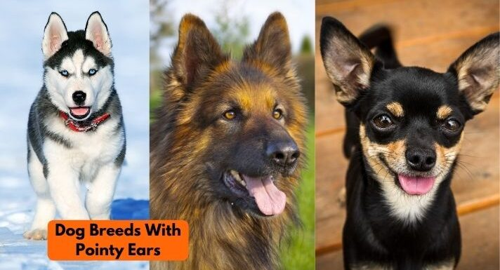 Dogs with pointy ears