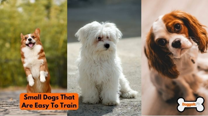 Small dogs that are easy to train