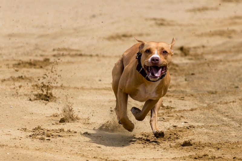 How Fast Is A Pitbull? Read These Amazing Facts!